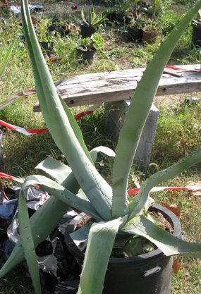 Agave inaequidens barrancensis