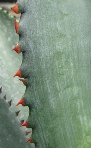 Palmaris Agave obscura