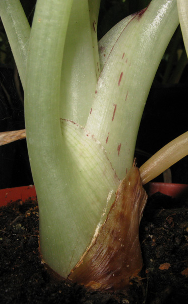P pini re palmaris fiche alocasia colocasia steudnera for Plante synonyme