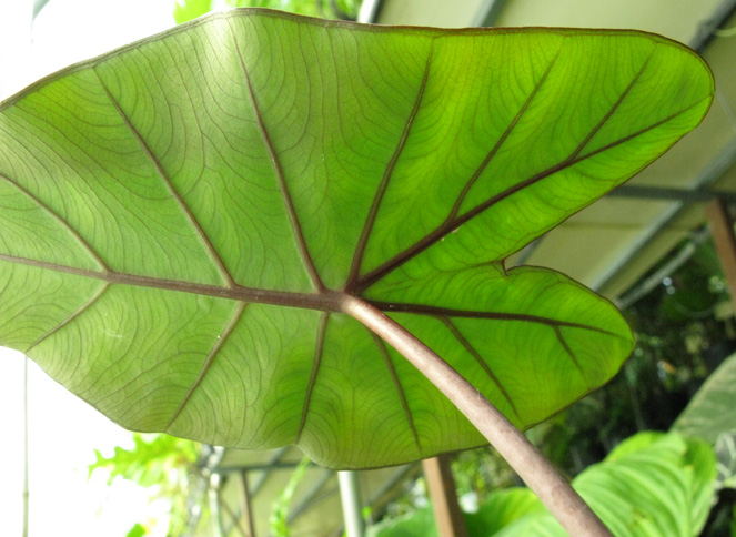 Pépinière Palmaris Colocasia esculenta Black magic