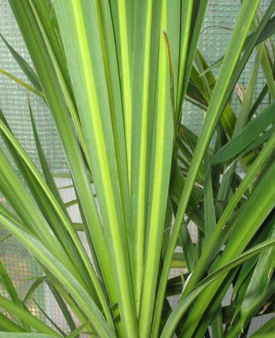 P pini re palmaris fiche cordyline australis - Cordyline feuilles qui jaunissent ...