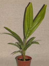 Pépinière palmaris ptychosperma elegans