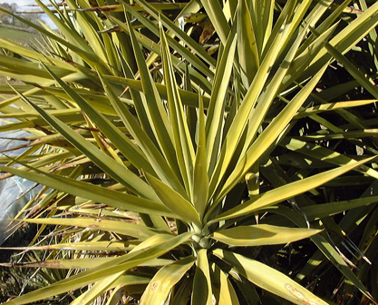 P pini re palmaris fiche yucca guatemalensis for Bouture yucca exterieur